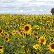 Ein Sonnblumenfeld in Spaichingen
