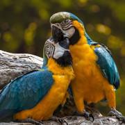 Papageien kuscheln miteinander
