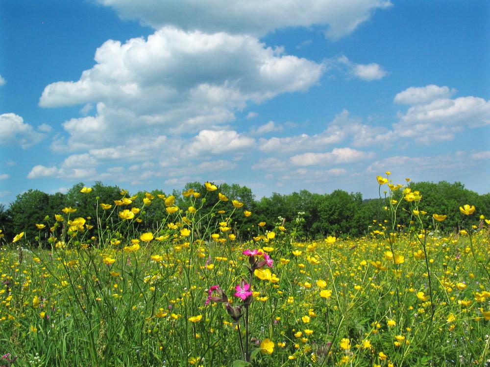 Blauer Himmel und im Vordergrund blühende Wiese